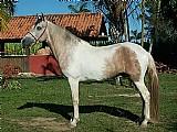 Cavalos de sela,  marcha picada e batida macia,  bem domados certos de redeas