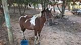 Égua pampa com 3 anos prenha de quarto de milha