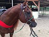 Lindo cavalo quarto de milha