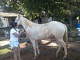 Cobertura cavalo cremelo albino 2 olhos azuis