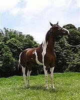 Cavalo marchador pampa (cod. 199378)