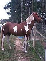 Cavalo mangalarga marchador pampa