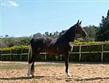 Mangalarga marchador - cavalos,  eguas,  potros,  pelagem pampa e solida