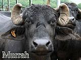 Bufalos e bufalas de 3ª e 4ª geracao