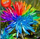 30 sementes de crisantemo raro arco-íris multicoloridas