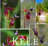 50 sementes rarissimos de orquideas formato de lindos patinhos em voô