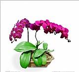 50 sementes de lindas orquideas borboletas