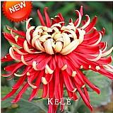 Sementes de  crisantemos bicolor vermelho/amarelo