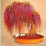 Sementes de bonsai raro de lindas flores ouro glicinias