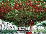 Sementes tomate de árvore italiano gigante frete gratis!!