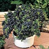 Sementes blueberry mirtilo anao   brinde