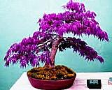 Semente de acer lilas 10 rubrum 9 canadense 9 palmatum bonsai árvore