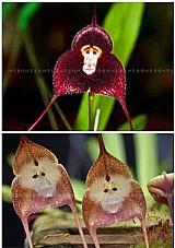 Sementes orquideas rosto de macaco