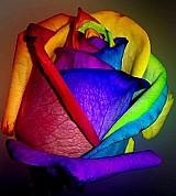 Sementes de rosa arco-iris (raras)   frete gratis
