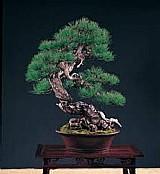 Sementes pinheiro negro p/ bonsai-arvore-plantas-r$ 5.99