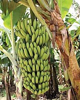 Super 7 bananas nanicao roxa prata pao ana maca ouro 7 mudas
