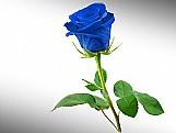 Sementes de rosa azuis   frete gratis
