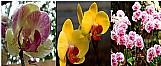 Sementes de orquideas esvoacantes chromophous