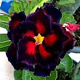 Semente rosa-do-deserto kit 10 sementes mista   brindes