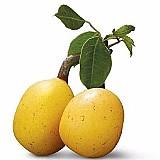 Sementes amarula marula sclerocarya birrea fruta p/ mudas
