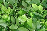 Sementes de mucuna preta 1kg alta pureza plantou nasceu !!!