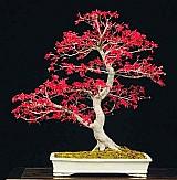 Sementes bonsai acer palmatum vermelho árvore p/ mudas