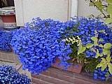 Sementes de lobelia azul p/ mudas flores jardim e vaso