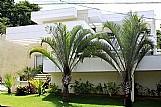 Muda de palmeira triangulo ou triangular