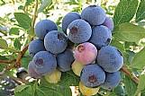 Semente blueberry southern mirtilo de clima quente sementes p/ mudas