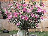 Mudas de rosa do deserto - adenium obesum