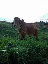 Bezerro ( nao cavalo,  vaca,  bezerro,  egua,  mula,  burro)