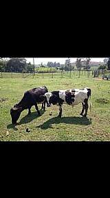 Mini gado,  mini boi,  mini vaca e mini bezerro. santa rosalia