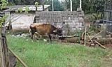 Bezerros e vaca