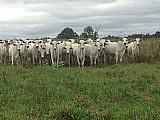 Compra e venda de gado (boi, novilha, bezerro, bezerra e vaca)