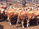 Terneiros terneiras,  novilhas ,  novilhos vaca touros boi sobreano bezerros