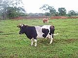 Rebando de mini vacas,  bois,  bezerras e bezerros