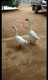 Vendo casal de gansos