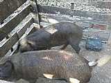 Porcos caipira adultos