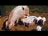 Temos porcos varios tamanhos