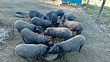 Porcos caipiras  venda em araã§oiaba da serra