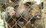 Porcos leitas em sao paulo