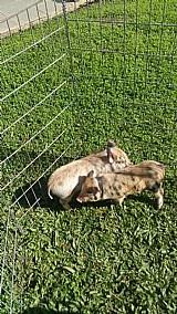 Porquinhos a venda em pinhais porco suino