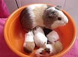 Filhotes e porquinhos ja adultos