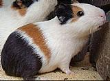 Porquinhos da india peruano wats 34 99227-5482