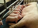 Suinos olho dagua venda de porcos em aracaju