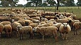 Lote de ovelhas a venda