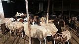 30 ovelhas,  prenhas ou paridas