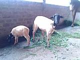 Cabra com dois cabritinhos