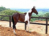 Égua mangalarga marchador pampa a venda registrada prenha
