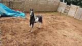 Égua mangalarga pampa de preto